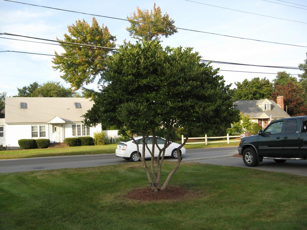 To A Magnolia Tree From Collings Company Tree Service In