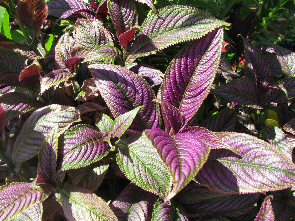 purple leaf plant. pictures ruby leaf parrot leaf calico plant joy, Natural flower