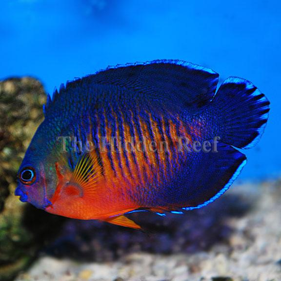 Coral-Beauty-Angelfish from The Hidden Reef in Levittown ...