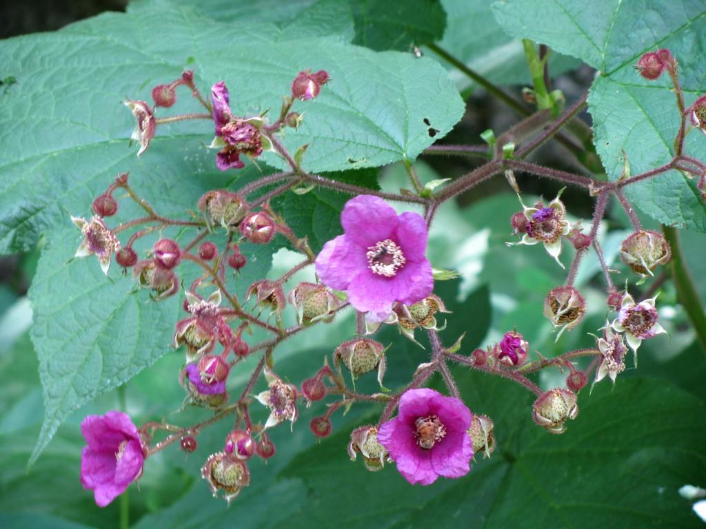 Purple Flower Buds by Vicki Zerbee, Social Media Consultant & Shaklee Independent Distributor