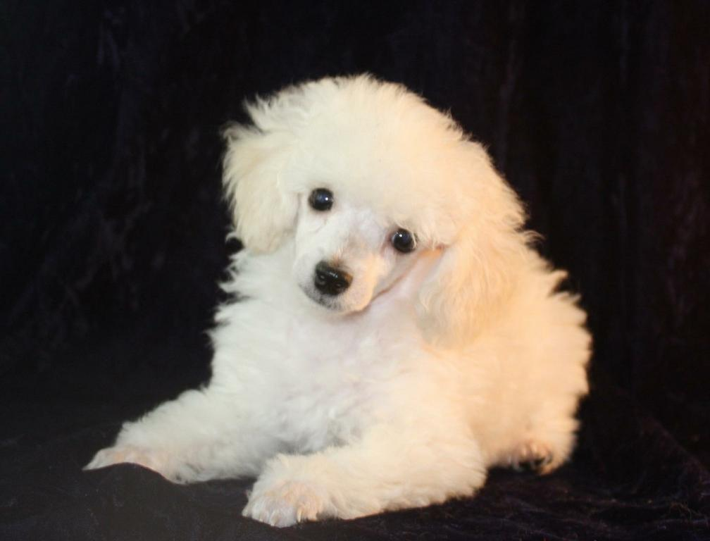 Stately white Toy Poodle male bred by Vanier by Animal Attraction Pet sfe9mMqp