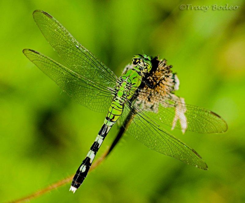 Green dragonfly pictures - photo#10