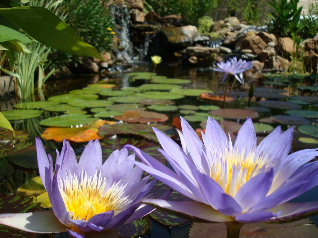 Beautiful water lilies in a koi pond from berkshire for Koi pool water gardens cleveleys