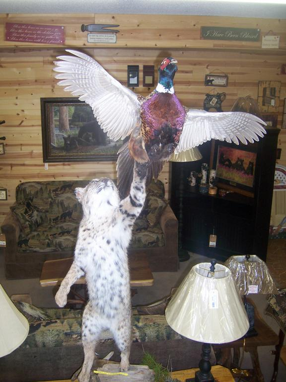 Taxidermy Bobcat Pheasant From Mountain Top Furniture And Accessories In Blairsville Ga 30512