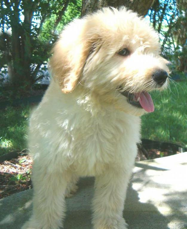 golden retriever mixed with a poodle. It allows for more Golden