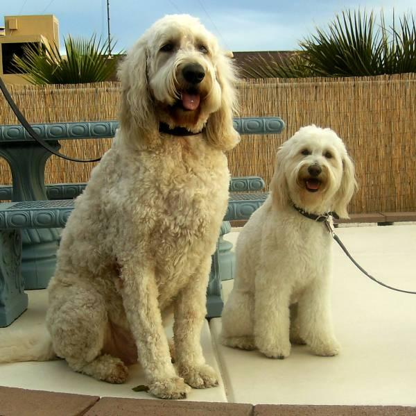 goldendoodle puppy pictures. Should you get a small dog?