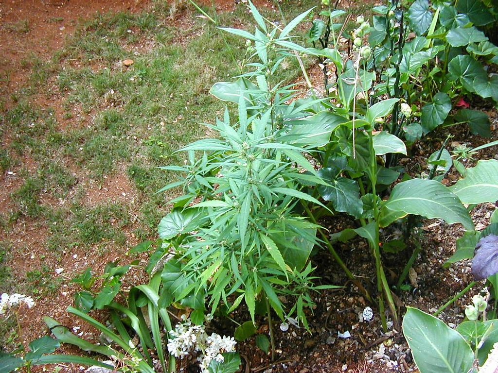 Weed Plants In Backyard : weed plant in bob marleys garden dope ganja hemp marijuana from m in