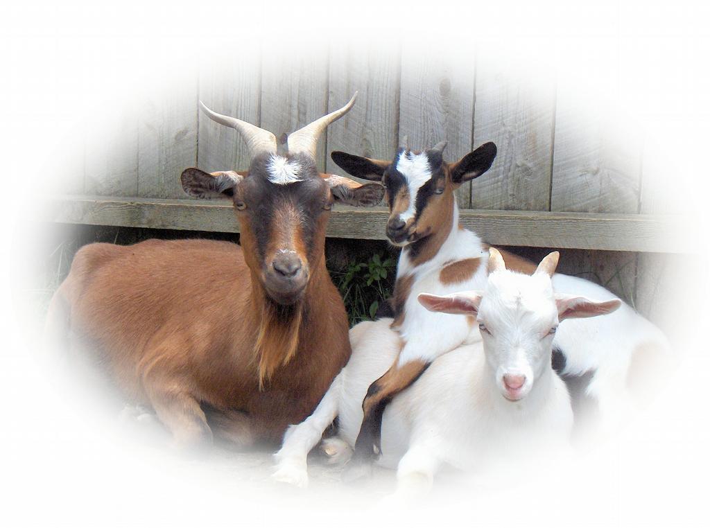 Wonder Fall Farm Fainting Goats & Gift Shop - Franconia NH ...