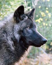 Wolf People - Cocolalla, ID