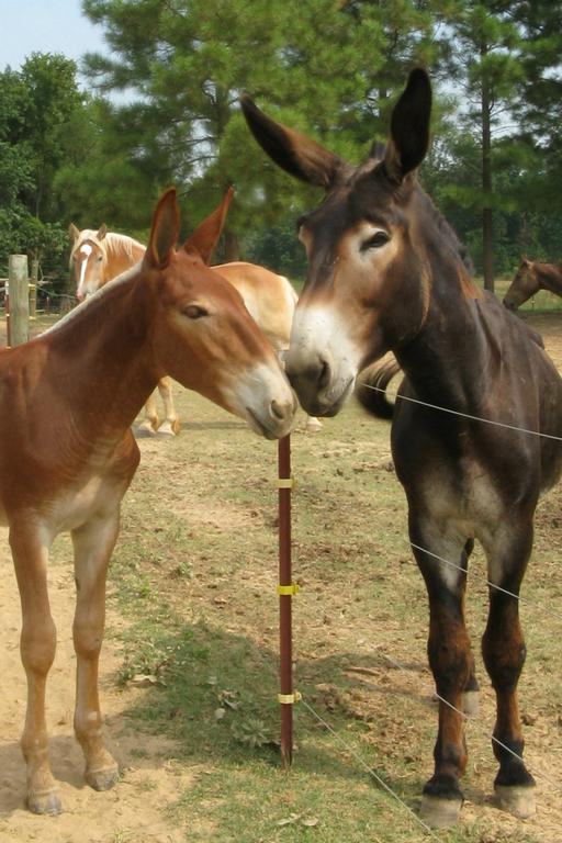Mule Horse Donkey Breeding Pictures to Pin on Pinterest ...