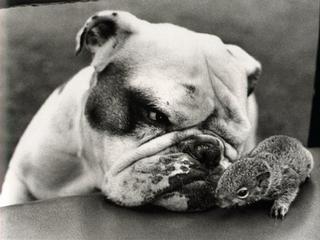 http://media.merchantcircle.com/27623030/Funny-Dogs---Bulldog-with-eye-on-squirrel-med_medium.jpeg