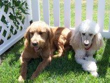 Pictures for Goldendoodle Acres in Neenah, WI 54956