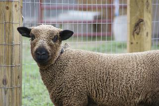 babydoll sheep jpg by the