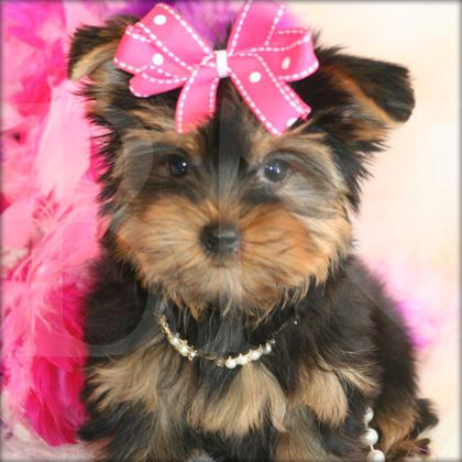 Yorkie Puppies on Picture  Yorkie Puppies Jpg Provided By  Yorkie In A Piece Of Heavens