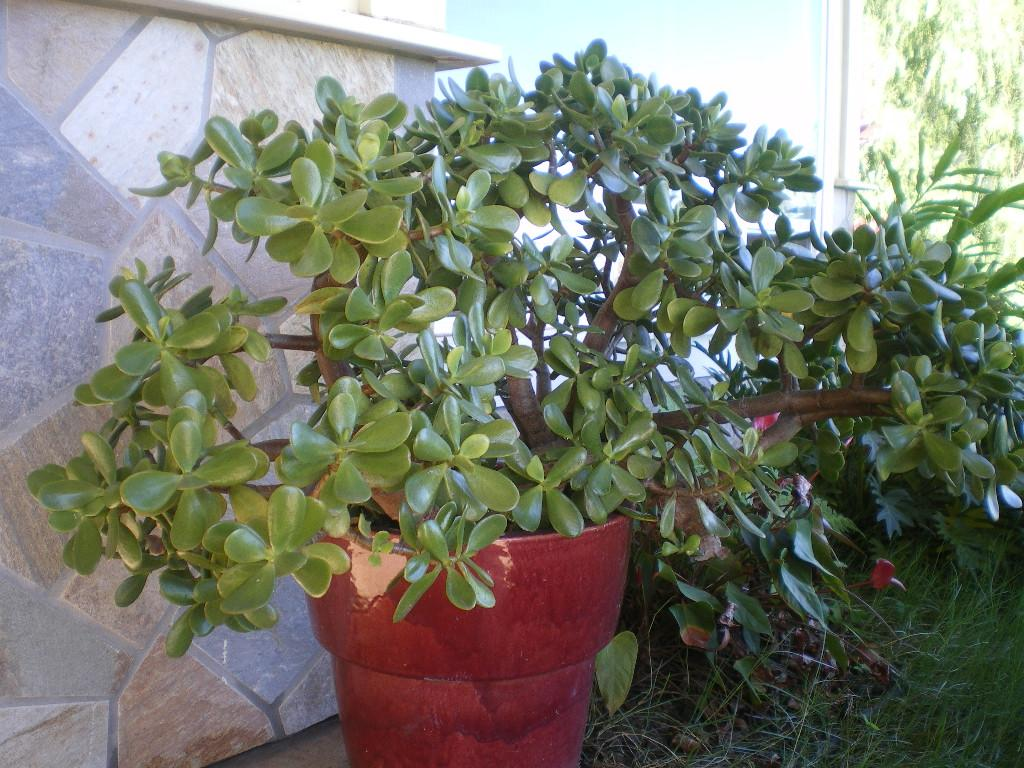 Pictures for jade plants for sale maui in wailuku hi 96793 for Plants for sale