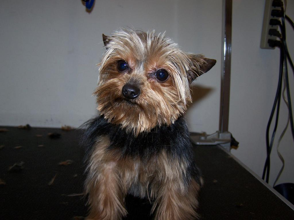 Yorkie Haircuts Puppy Cut Type Dohoaso