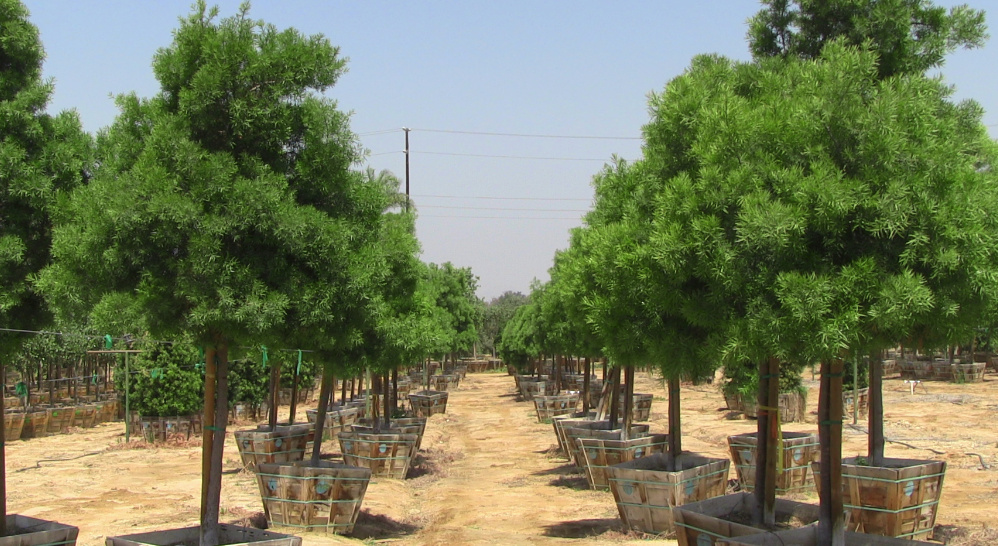 Big Tex Trees Nurseries Houston Tx 77079 713 465 1801 Gardening