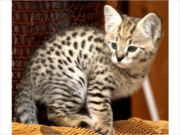 Savannah Cat For Sale Colorado Springs
