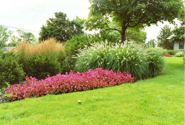 Landscaping With Evergreens And Grasses : Sturdy evergreen shrubs http amerinursery com article aspx