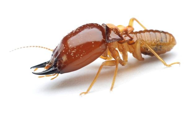 http://media.merchantcircle.com/42523688/pest-control-contractors-seattle-wa-croach-services-termite-damage_full.jpeg