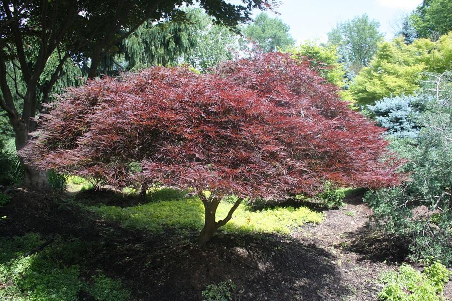 Acer Palmatum Dissectum Tamukeyama From Hickory Hollow