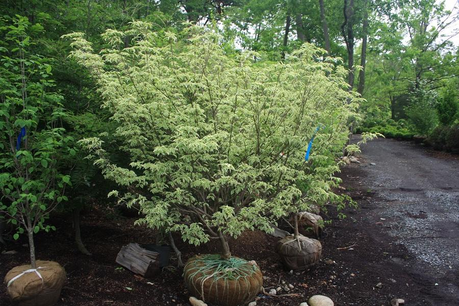 Cornus Kousa Wolf Eyes From Hickory Hollow Nursery And