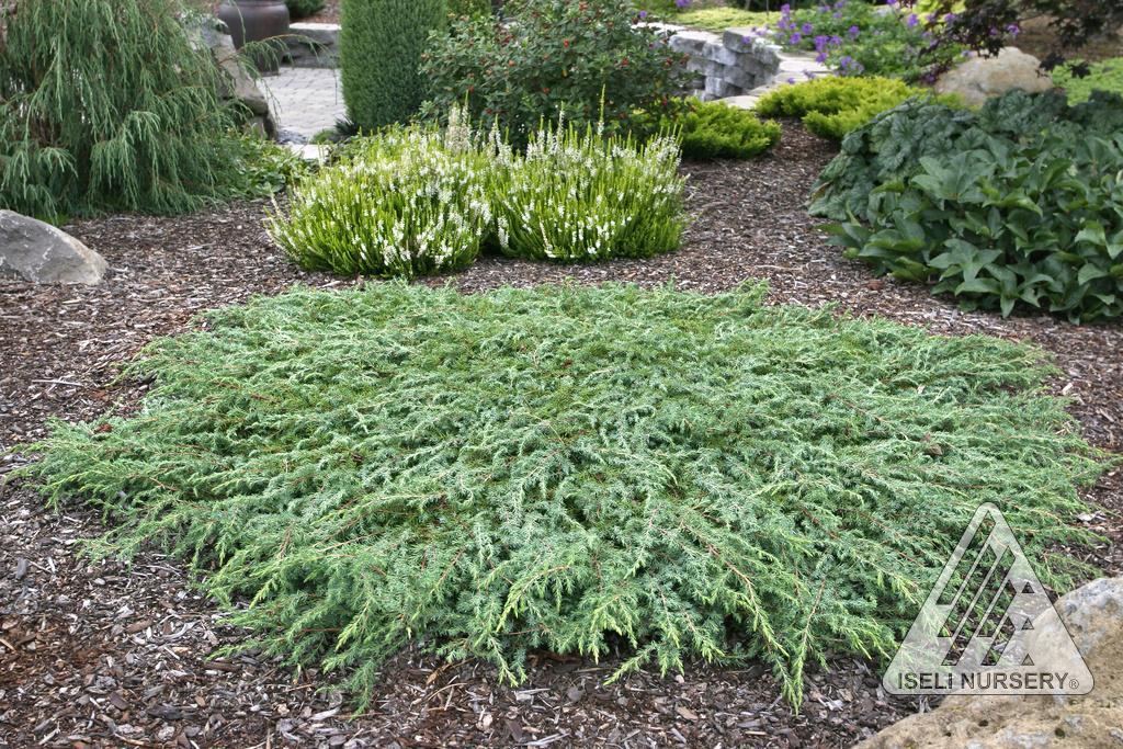 Juniperus Communis Corielagen From Hickory Hollow