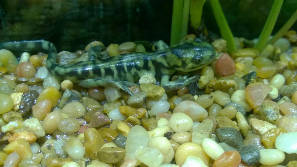 Baby Tiger Salamander