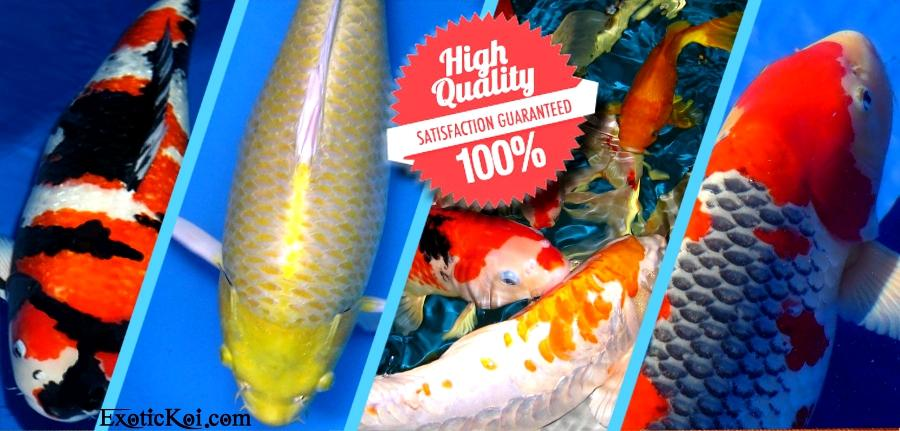 Pictures for exotic koi for sale in fort lauderdale fl 33314 for Koi for sale florida