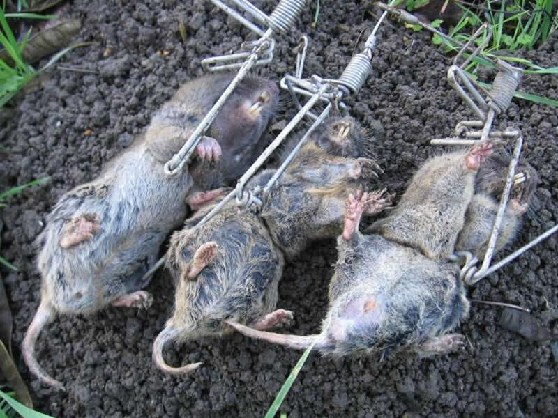 gopher-moles-trapping-services by Avalos Gopher Trapping San Mateo